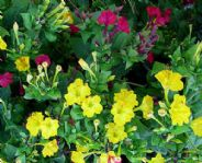 Mirabilis jalapa Tea time mix - 25 seeds